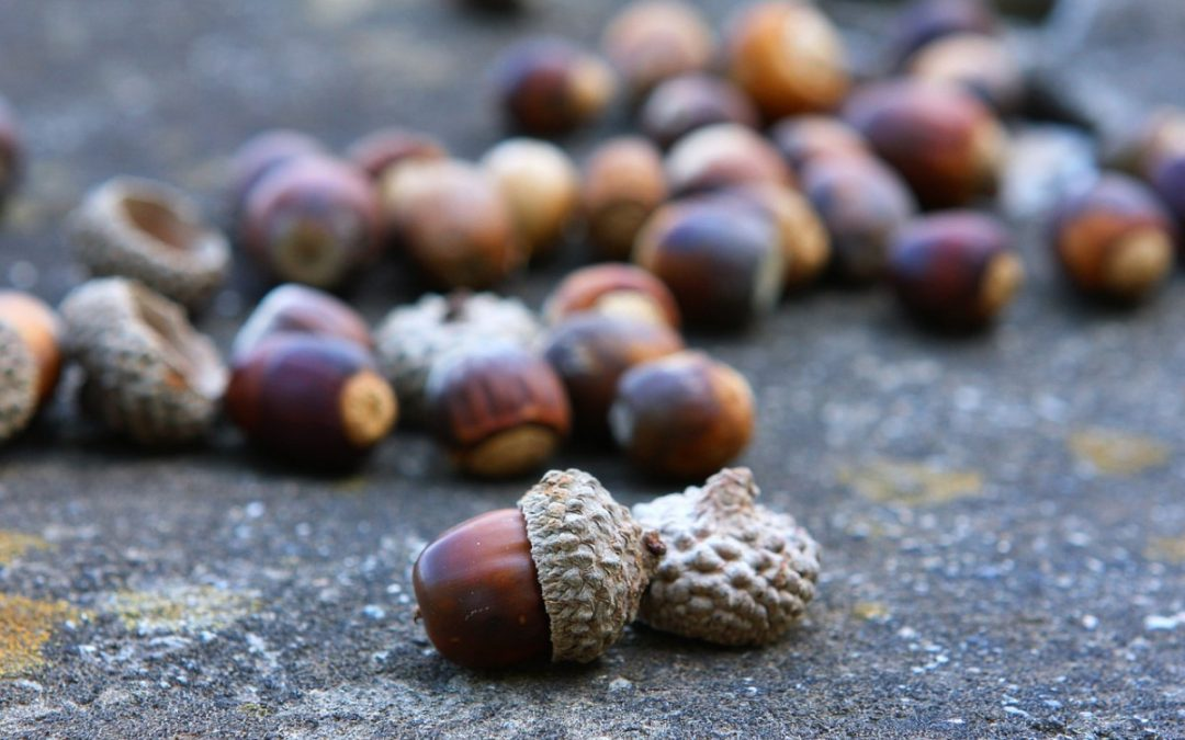 Ask Texas Tree Surgeons: Why Do I Have So Many Acorns?